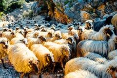 sh eep van schapen kudde het voeden in het gras Royalty-vrije Stock Afbeelding