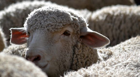 sh eep van schapen kudde het voeden in het gras Royalty-vrije Stock Foto's