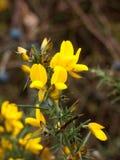 Sh taggigt plan för härlig guld- gul ärttörne för blomning blommande royaltyfria bilder