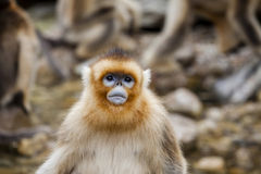Shaanxi Qinling Niubeiliang Sichuan snubnosed monkey Royalty Free Stock Images