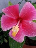 Shaba with rainy Royalty Free Stock Photos