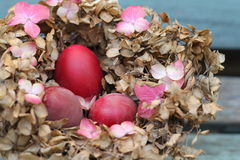 Shabby chic Easter nest. Three dyed red eggs in a nest made of dried pink hydrangea leaves on a vintage blue bench stock image