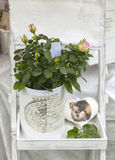 Shabby chic potted rose royalty free stock photos