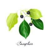 Camphor. Laurel branch. Cinnamomum a commonly known as  tree or wood Stock Photography