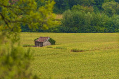 Shack in corn field Royalty Free Stock Image