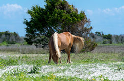 Shackleford Mustang II. This photo was taken in the beautiful Shackleford Banks, North Carolina. Shackleford banks is located at the southern tip the outer banks stock image