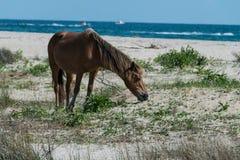 Shackleford Mustang Royalty Free Stock Image