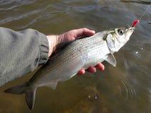 Shad Fishing i Washington DC Royaltyfria Foton