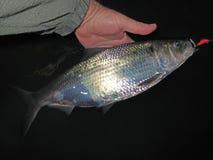 Shad Fishing på natten Arkivfoton