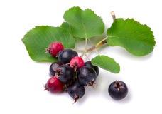 shadberry стоковые фото