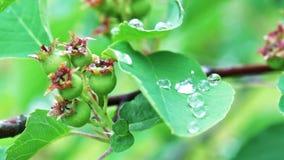 Shadberry bush after summer rain stock video