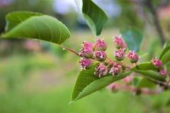 shadberry das bagas Fotografia de Stock