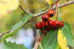 Shadberry Jagody Irga na gałąź Wyśmienicie jagody na drzewie Lato zdjęcia stock