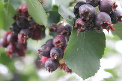 Shadberry with leaves and berrys 20477 Royalty Free Stock Photo