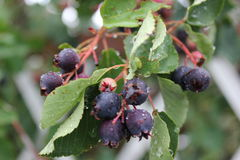 Shadberry with water drop leaves and berrys 20042 Royalty Free Stock Images