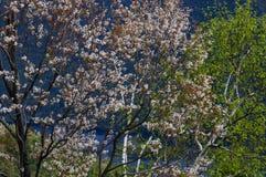 Shadblow en la floración cerca del lago George In The Adirondack Mountains O Fotos de archivo libres de regalías