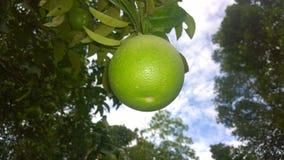 Shaddock με το δέντρο στοκ φωτογραφία με δικαίωμα ελεύθερης χρήσης