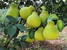 Shaddock fruit ripen. In the garden Royalty Free Stock Photos