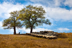 The shade. Sheep in the shade under a big tree this afternoon Stock Images