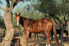 In the shade. Resting horse standing under the olive tree after the hard work Royalty Free Stock Photos