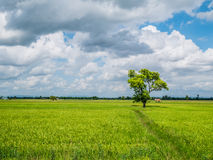 The shade big tree standing in the green jasmine rice field. The shade big tree standing in the green rice field with the fresh green bushes as the background Royalty Free Stock Image
