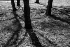 Shade of big trees in park. Shade of big trees in the park during sunrise. Black and white process. Sunshine through the woods with light and shadow royalty free stock images