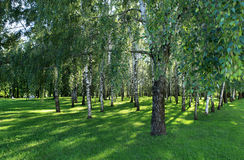 In the shade of a birch grove Royalty Free Stock Photo