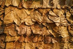 Shade of brown yellow overlapping dried teak leaves natural local traditional wall covering texture background. Thailand royalty free stock images