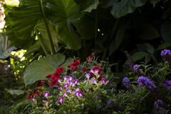 In the Shade. Colorful summer flowers in the shade of massive Elephant Ear plants royalty free stock photography