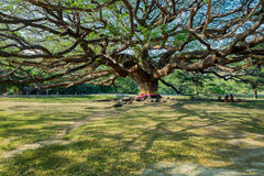 Shade of Giant tree. With colorful fabric Stock Photo