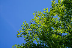 Shade of green maple leaves branches with clear blue sky backgro Royalty Free Stock Photography