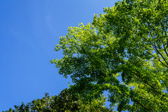Shade of green maple leaves branches with clear blue sky backgro Stock Photo
