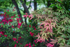 Shade of green and red maple leaves branches with blurred red fl Royalty Free Stock Image