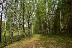 In the shade of oaks, birches and firs breaks the first grass and flowers. Amazing summer day in the mixed forest stock image