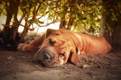 In the shade. Out of the sun, a Shar pei tries to rest in the shade of a hedge. Retro style processing royalty free stock photography