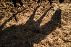Shade projected by a horse Royalty Free Stock Image