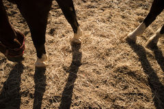 Shade projected by a horse. Shade projected to earth by a horse in the late afternoon Stock Images