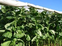 Shade Tobacco. A crop of Connecticut shade tobacco ready for harvesting Royalty Free Stock Photo