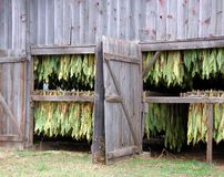 Shade Tobacco Drying in Barn. Shade tobacco is grown along the banks of the Connecticut River in Massachusetts and Connecticut. Growing these leaves as outer Royalty Free Stock Image