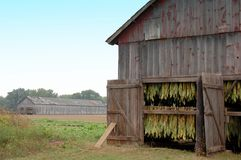 Shade Tobacco Drying in Barns. Shade tobacco is grown along the banks of the Connecticut River in Massachusetts and Connecticut. Growing these leaves as outer Royalty Free Stock Images