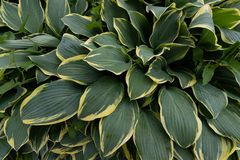 Shade-tolerant plant with decorative green-yellow leaves, can be used as a natural background royalty free stock photo