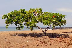 Shade tropical tree on a Pacific coast Stock Images