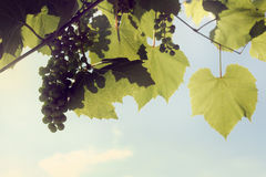 In the shade of the vine Stock Photography