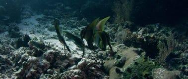 Shaded Batfish Platax Pinnatus, Swimming over a Coral Reef. WAKATOBI, Indonesia, Nov 2017, slow motion stock video