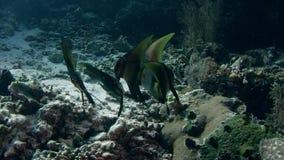 Shaded Batfish Platax Pinnatus, Swimming over a Coral Reef. WAKATOBI, Indonesia, Nov 2017, slow motion stock video footage