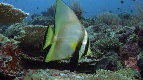 Shaded Batfish Platax Pinnatus, Swimming over a Coral Reef. WAKATOBI, Indonesia, Nov 2017, slow motion stock footage