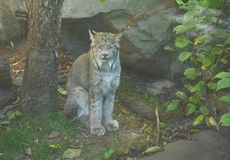A Summertime Lynx Cameo Royalty Free Stock Image