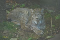 A Summer Lynx Study. Shaded closeup of an engaging Canadian lynx, quietly laying down in a seasonal exhibit at the Minnesota Zoological Garden Stock Photography