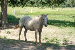 Shaded Horse. Spotted horse POA standing in the shade in grassy paddock stock image