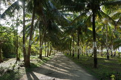 Shaded track lined by coconut palm trees Royalty Free Stock Image